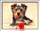 Pies, Yorkshire Terrier, R�a